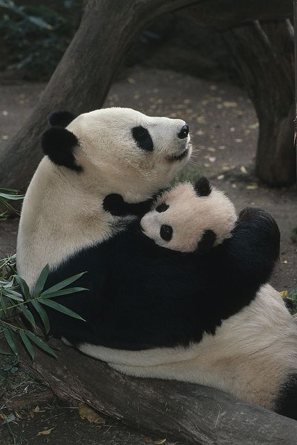 baby-panda-and-her-mom-