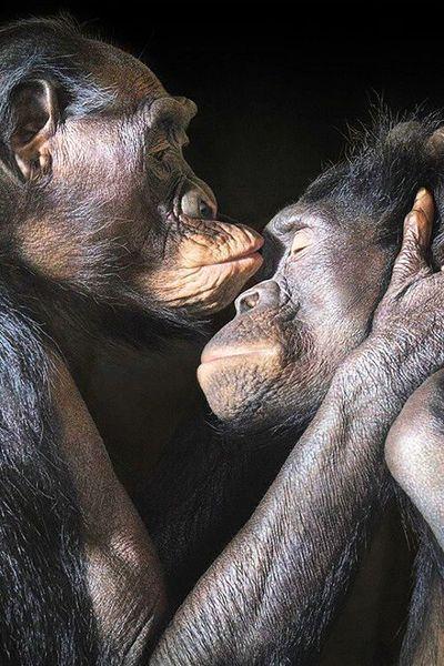 chimpanzee-love-