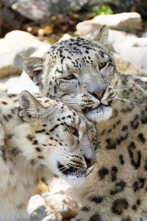 cuddling-snow-leopards-