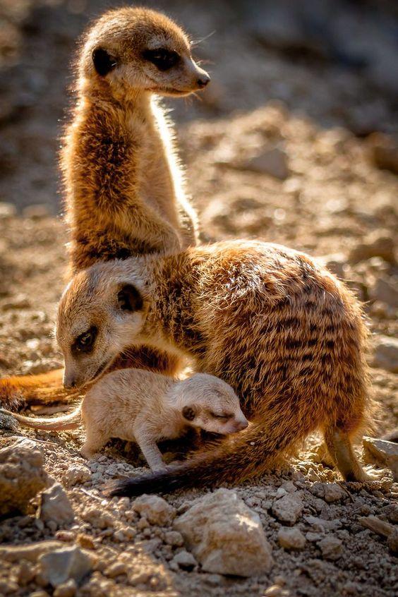 meerkat-family-