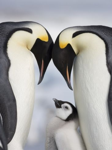 pinguins-