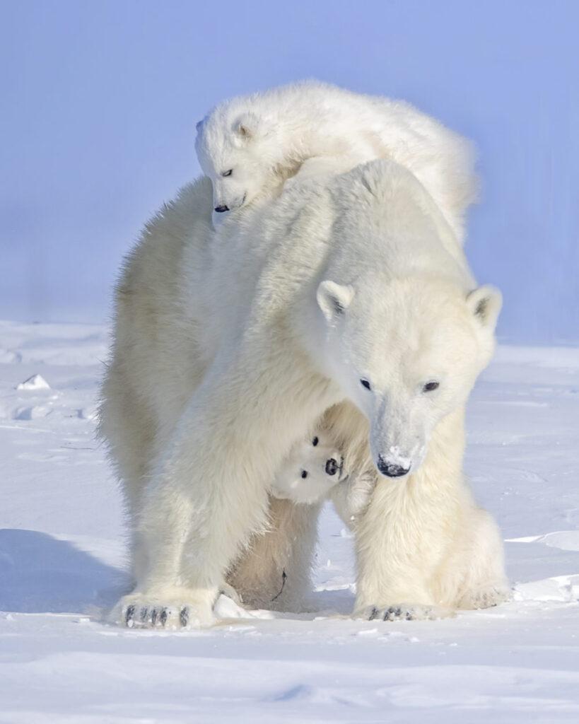 polar-bear-mother--819x1024