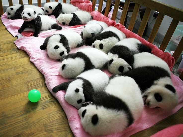 12-baby-giant-pandas-in-a-crib