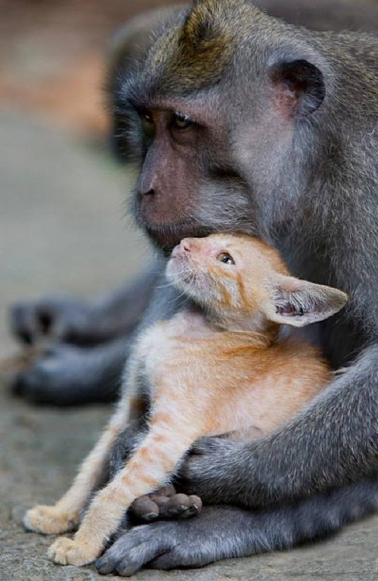 A-Macaque-Monkey-Adopts-A-Kitten-In-The-Forests-Of-Bali-6