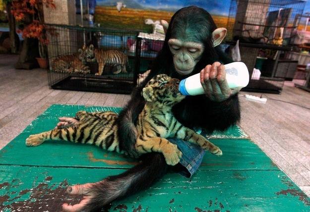 A-Sumatran-Tiger-Make-Friends-with-Two-Orangutans