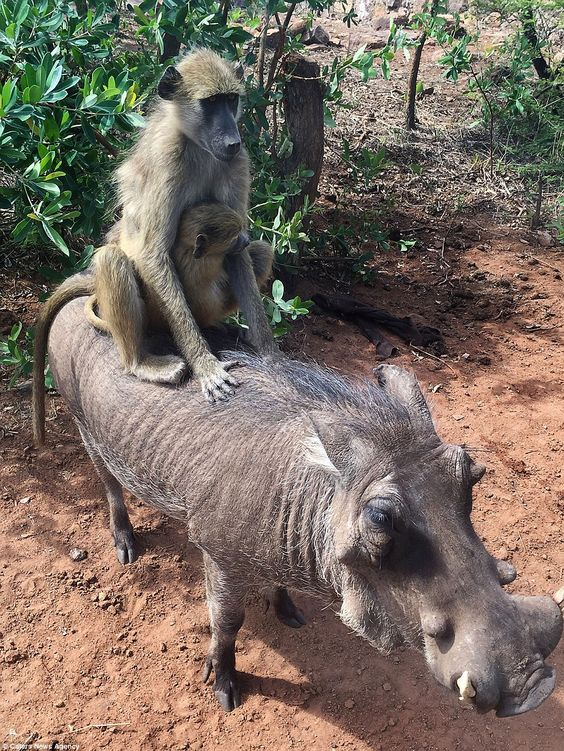 A-Warthog-Pals-With-Two-Baboons