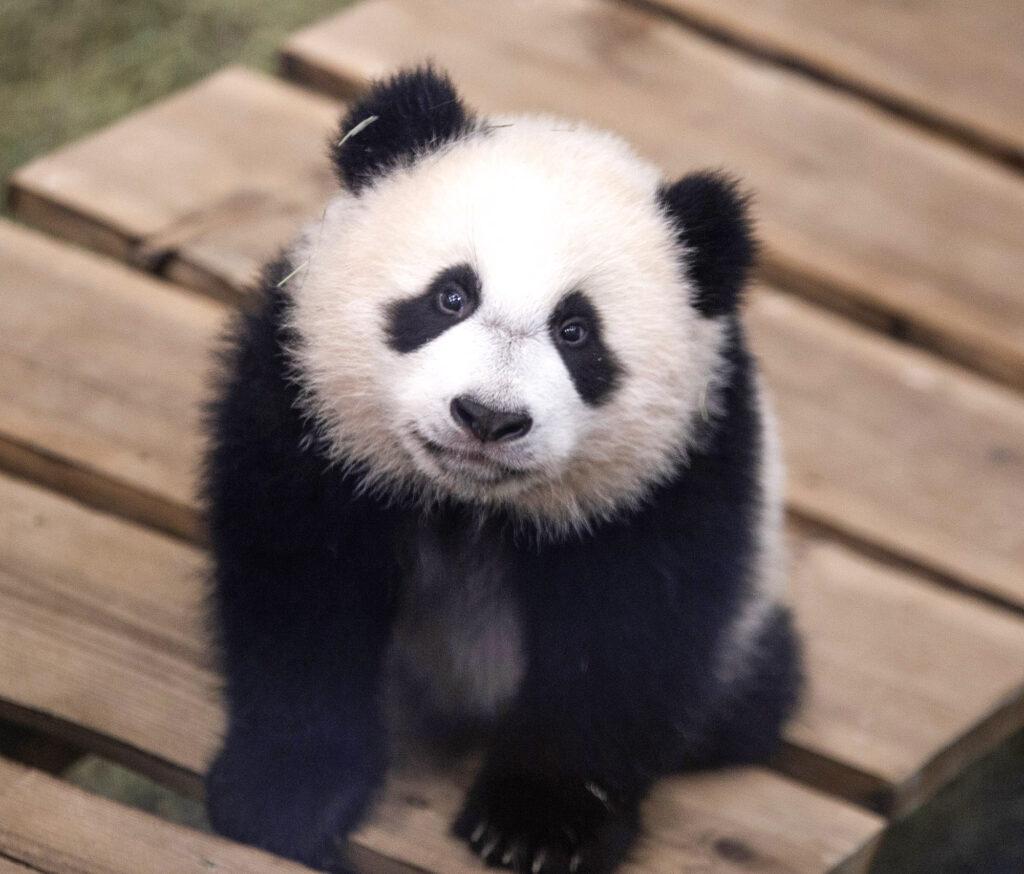 Dutch-Born-Panda-Cutest-Look
