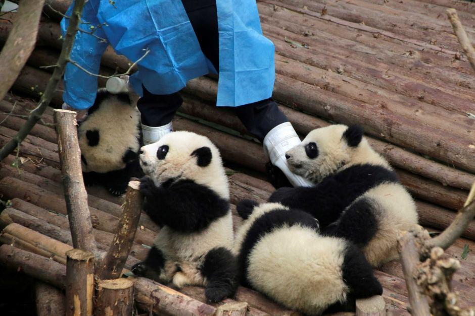 Panda-Playing-With-Their-Caretaker