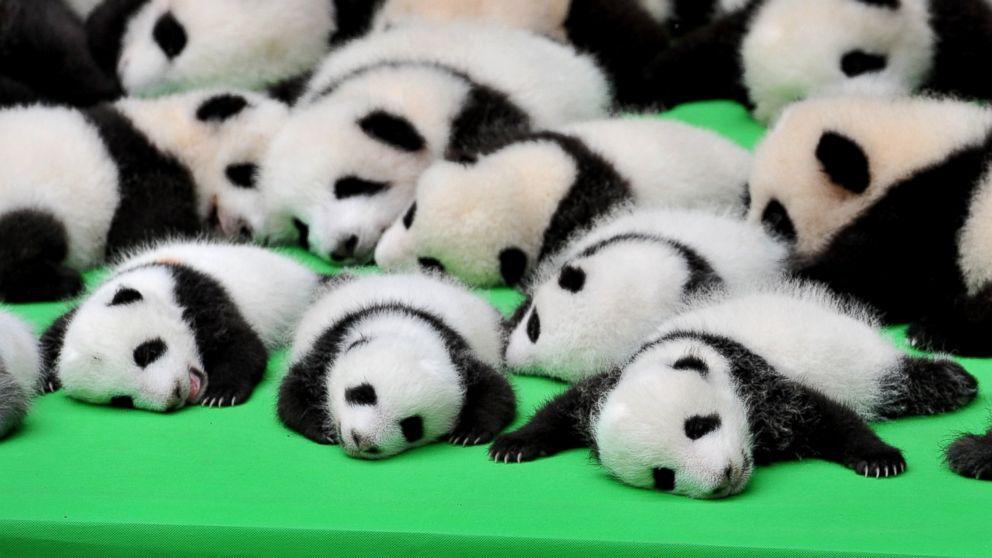 Panda-cubs-