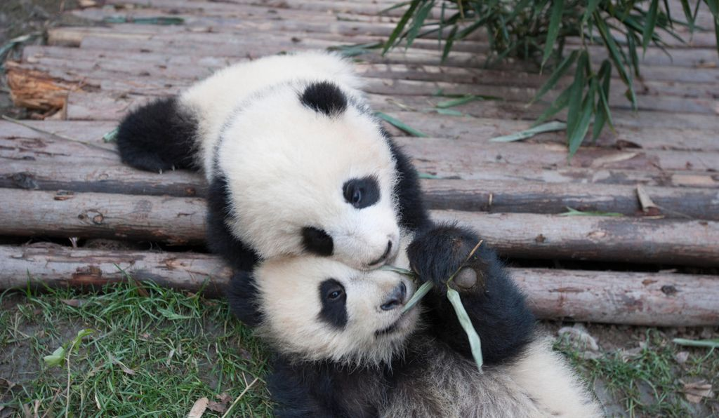 Pandas-Out-In-The-Wild-