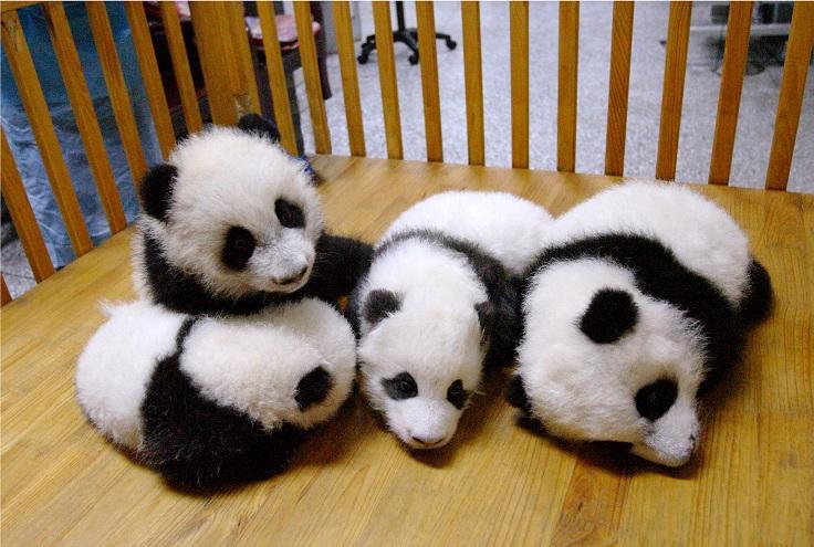 Baby Panda Pictures - TOP 10 Cutest Photos Ever Taken ...