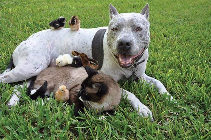 Pitbull-siamese-cat-chicks