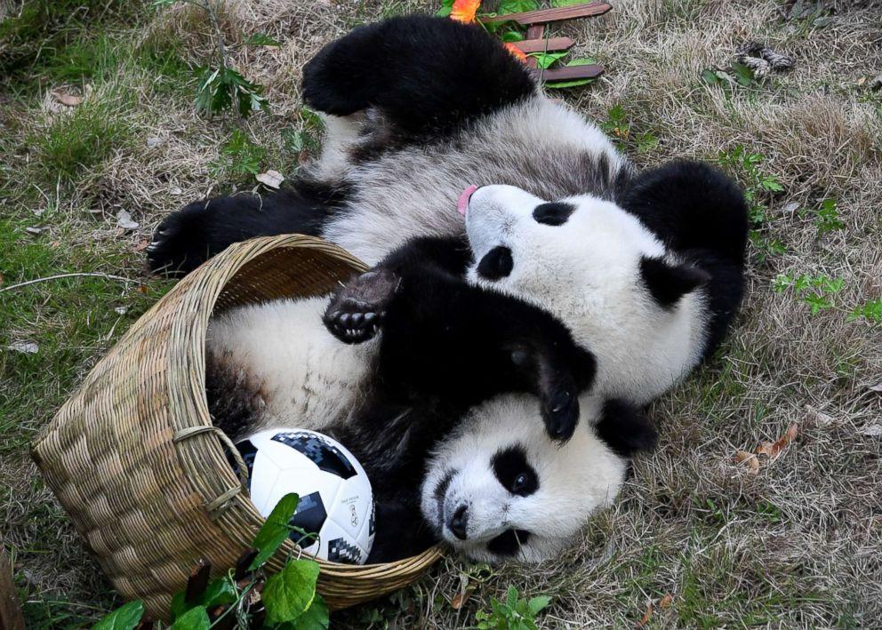 World-Cup-Enthusiastic-Wannabes-Pandas