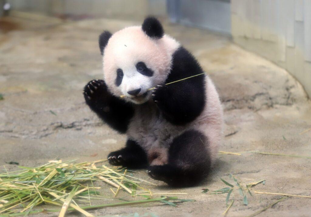 Xiang-Xiang-Baby-Tokyo-Panda-1024x713