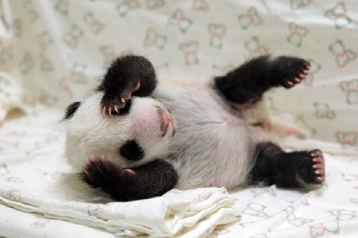 Baby Panda Pictures - TOP 10 Cutest Photos Ever Taken ...