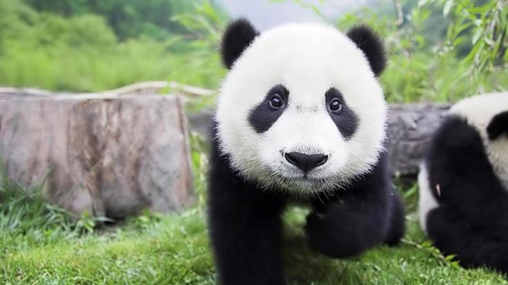 baby-panda-hd-laptop