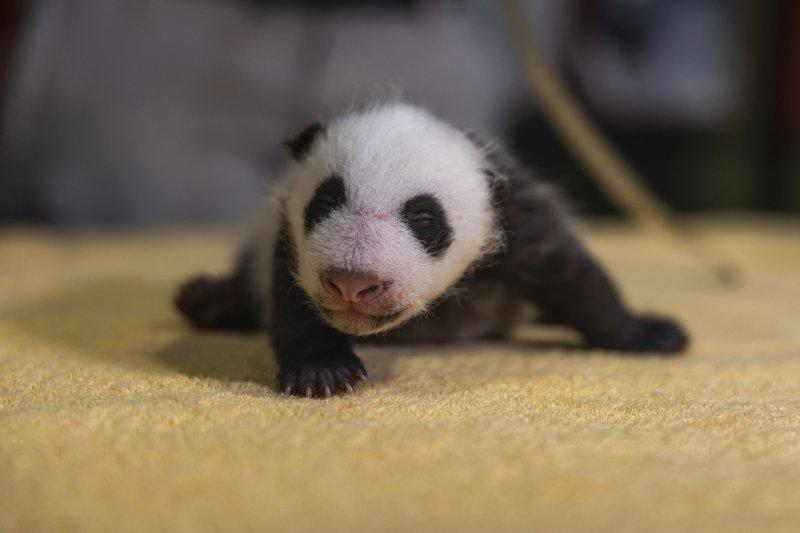 baby-panda-new-born-
