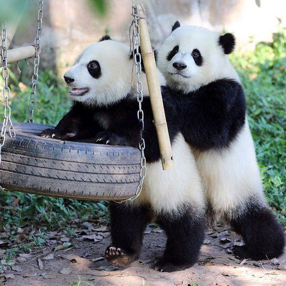 baby-pandas-playing-together-