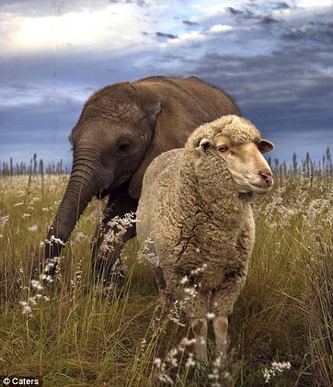 elephant-and-sheep-