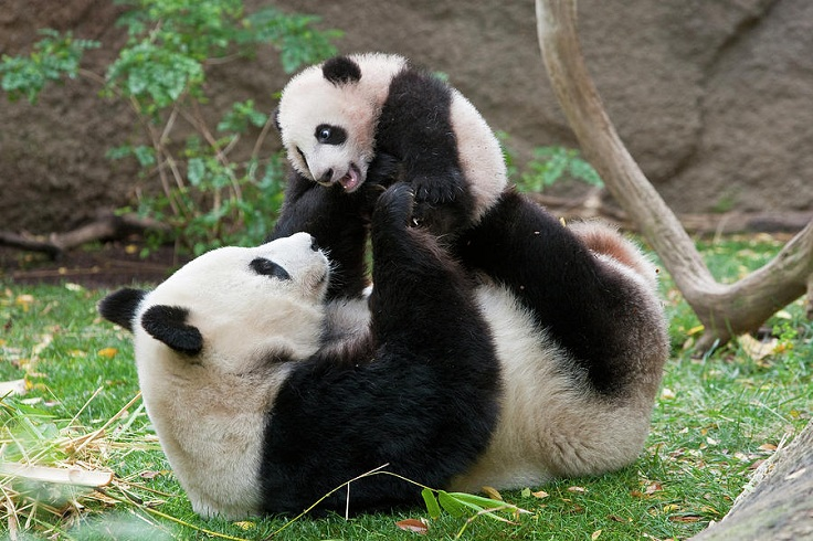 giant-panda-mama-and-cub-zssd