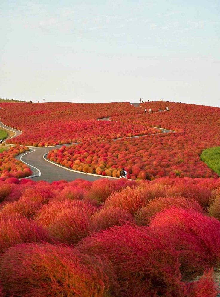 kochia-hill-hitachinaka-city-japan