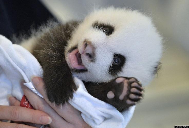 Cute Baby Panda Pics: TOP 10 Cutest Photos Ever Taken