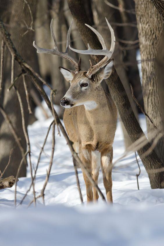 deer-in-the-snow-