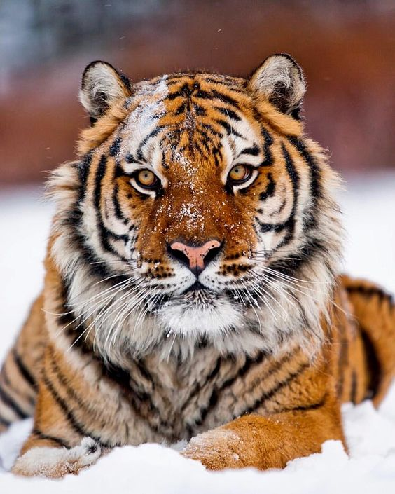 tiger-in-the-snow-