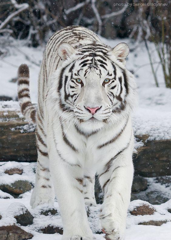 white-tiger-on-the-snow