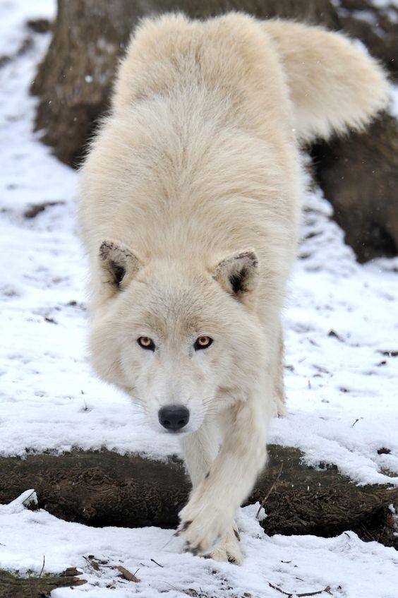 white-wolf-