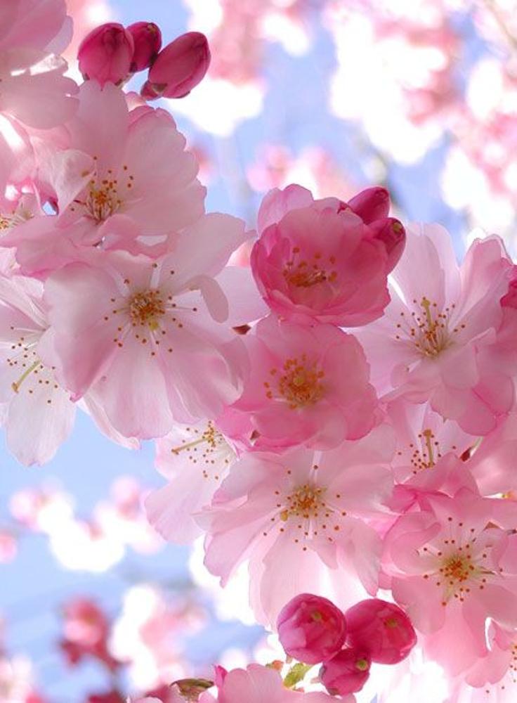 Blossom-Cherry