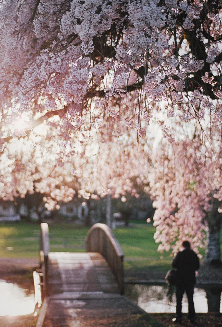 Cherry-blossom-bridge
