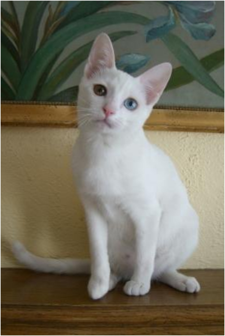 irish blue cat