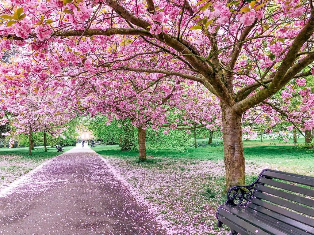 cherry-blossom-avenue-