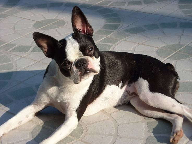 ... small dog breeds that dont shed cutest small dog breeds that