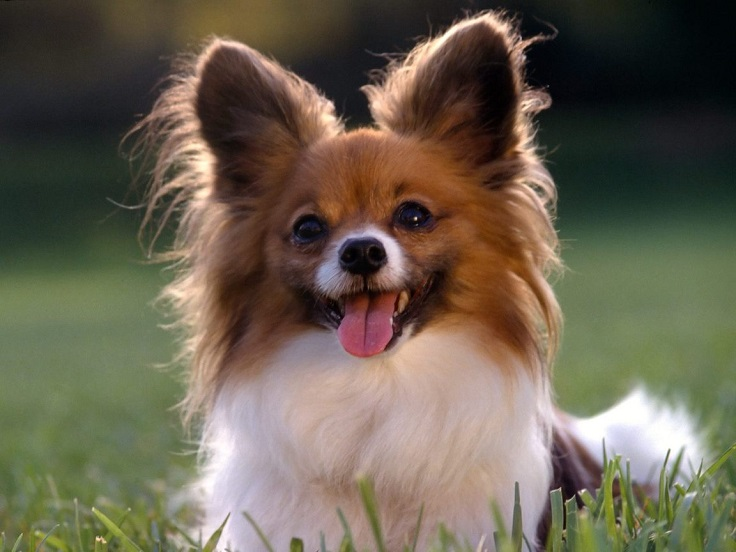 cutest-small-dog-breeds_05