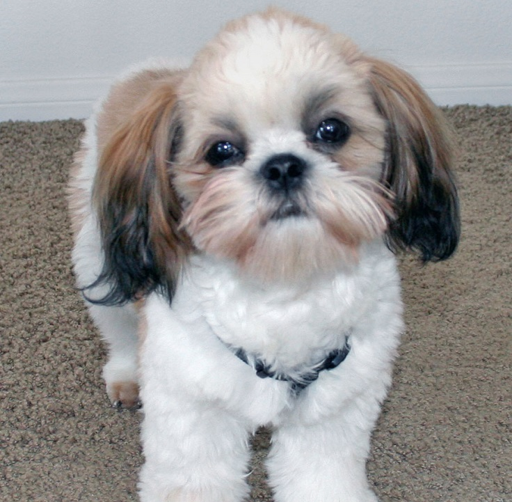 Top 10 Cutest Small Dog Breeds - Top Inspired