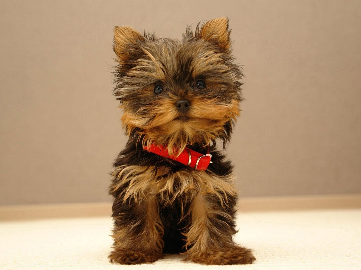 cutest-small-dog-breeds_10