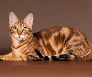 Top 10 Rare Cat Breeds