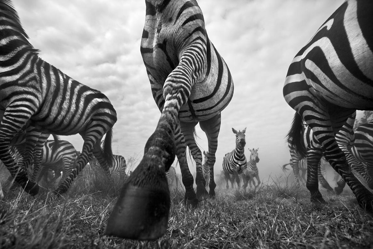 wild-zebra-