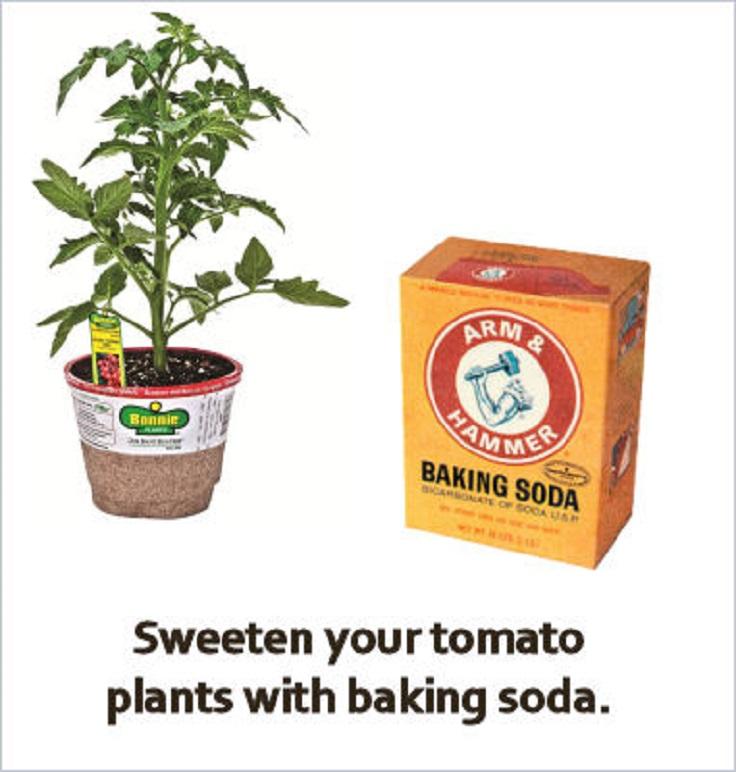 Baking soda can make home grown tomatoes taste less tart Coffee Grounds Around Tomato Plants