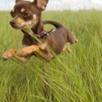 Top 10 Smallest Dog Breeds In The World | Top Inspired