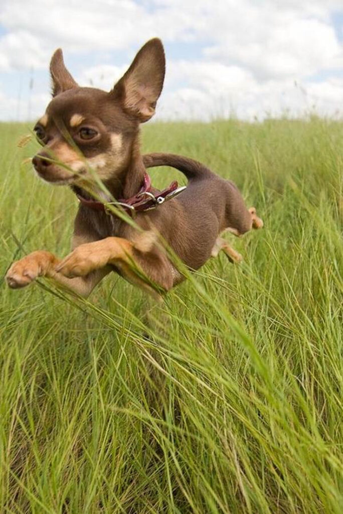 Top 10 Smallest Dog Breeds In The World Top Inspired