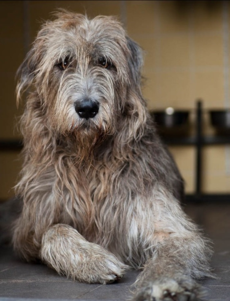 Top 10 Most Expensive Dog Breeds Top Inspired