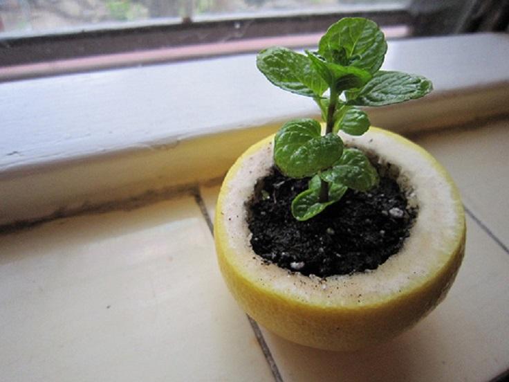 Start-a-seedling-in-a-lemon-rind