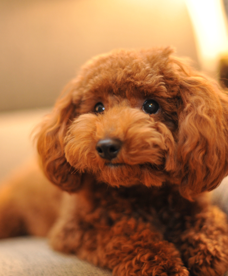 Toy-Poodle-1
