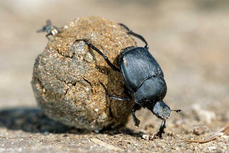 dung-beetles
