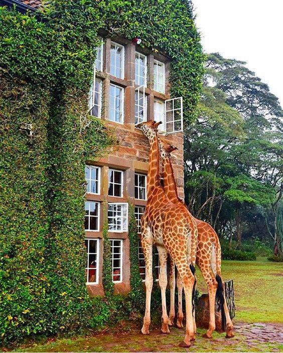 giraffes-