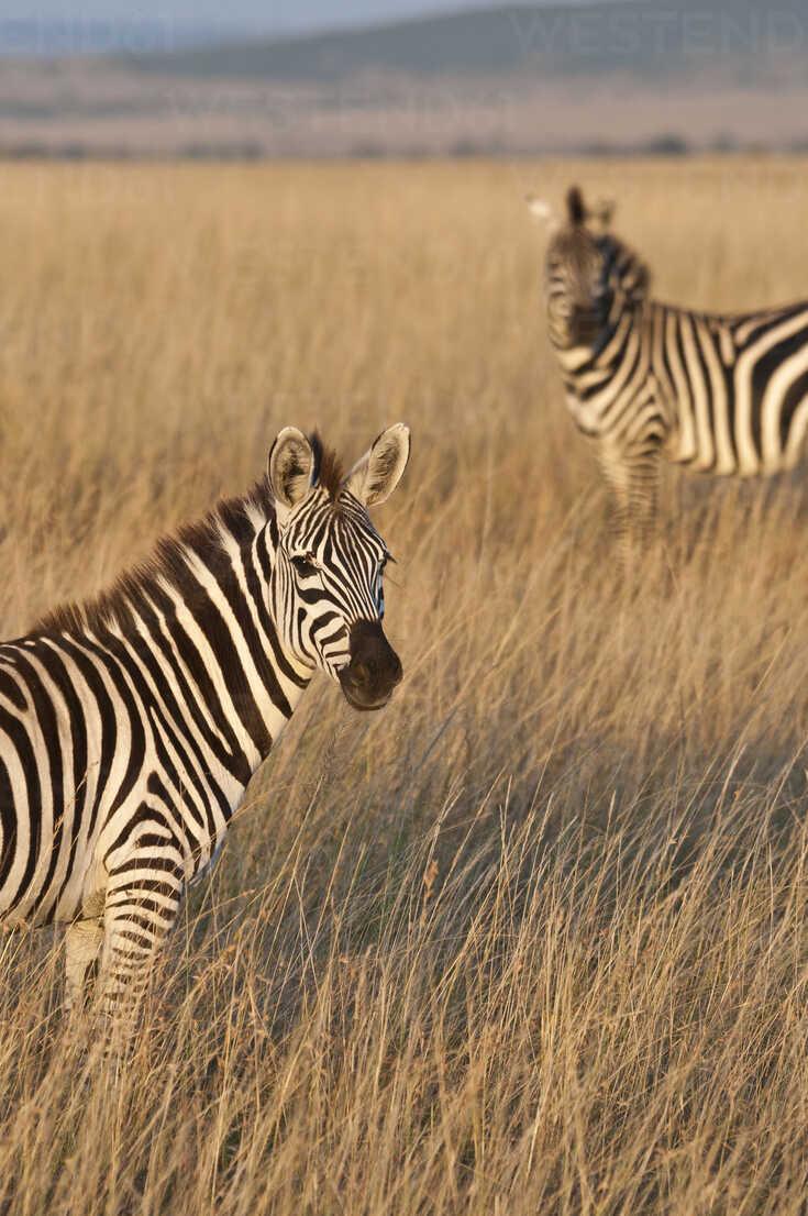zebras-
