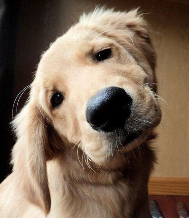 Golden-Retriever1